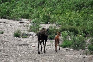 Strolling Moose