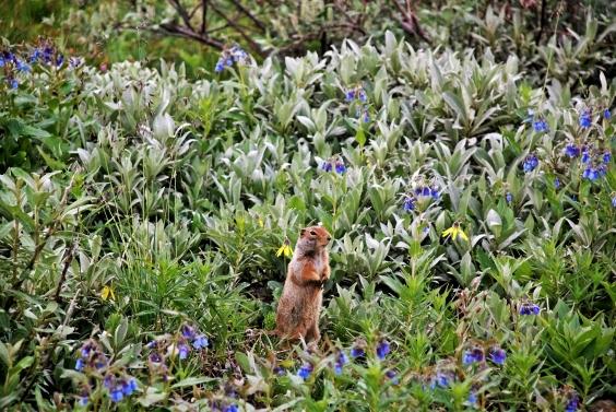 Artic Ground Squirrel