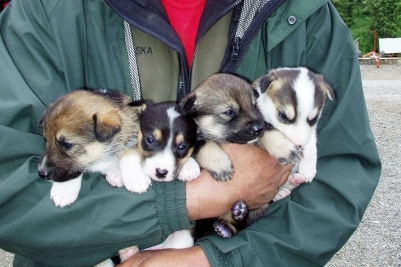 Future Iditarod Dogs