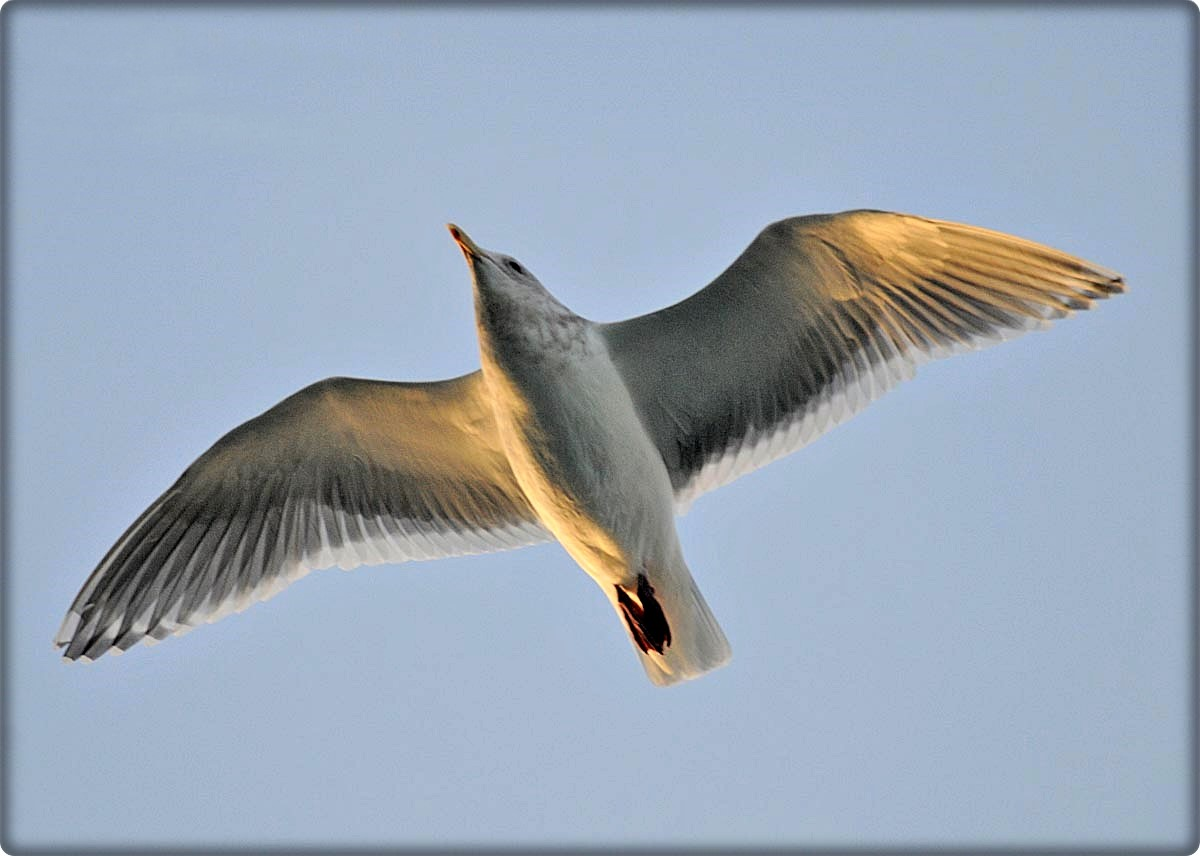 Glaucous-winged Gull A20353 copy